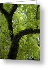 Canopy Of Cedar Elm Greeting Card