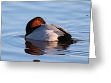 Canvasback Drake Tucked Greeting Card