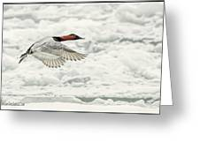 Canvasback Duck In Flight Greeting Card