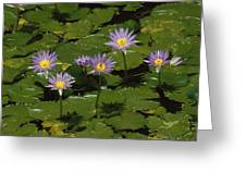 Cape Blue Water-lily Group Blooming Greeting Card