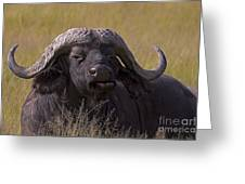 Cape Buffalo   #0574 Greeting Card