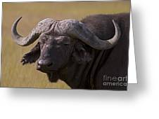 Cape Buffalo   #0607 Greeting Card