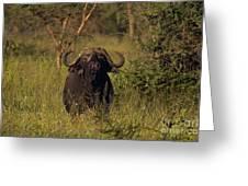 Cape Buffalo   #6851 Greeting Card