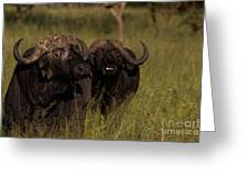 Cape Buffalo   #6884 Greeting Card