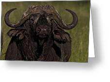 Cape Buffalo   #6885 Greeting Card
