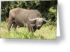 Cape Buffalo  Uganda Greeting Card