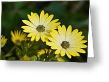 Cape Daisies Greeting Card