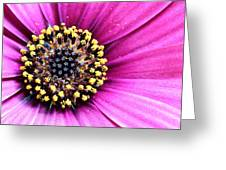 Cape Daisy Close Up Greeting Card