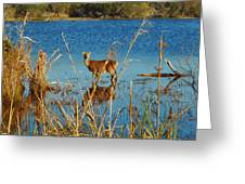 Cape Hatteras Deer In Pond 3 11/22 Greeting Card
