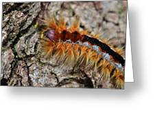 Cape Lappet Moth Caterpillar Greeting Card