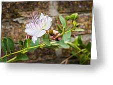 Caper's Flower Greeting Card