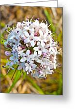 Capitate Valerian Near Savage River Cabin In Denali Np-ak Greeting Card