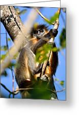 Capped Langur Greeting Card