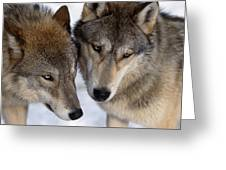 Captive Close Up Wolves Interacting Greeting Card