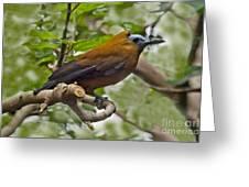 Capuchinbird Greeting Card