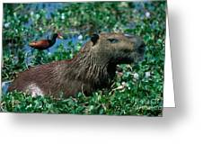Capybara And Jacana Greeting Card by Francois Gohier