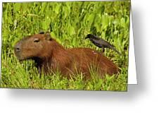 Capybara And Smooth Billed Ani Greeting Card