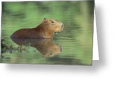 Capybara Wading Pantanal Brazil Greeting Card