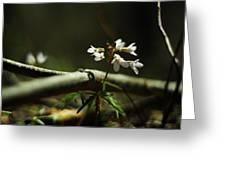 Cardamine Concatenata Cutleaf Toothwort Greeting Card