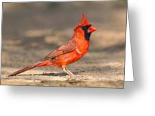 Cardinal - Male 1 Greeting Card