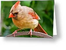 Cardinal 103 Greeting Card