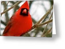 Cardinal 104 Greeting Card