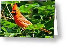 Cardinal 119 Greeting Card