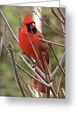 Cardinal 123 Greeting Card