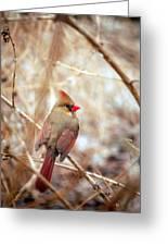 Cardinal Birds Female Greeting Card