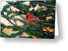 Cardinal In Balsam Greeting Card