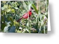 Cardinal In Bush I Greeting Card