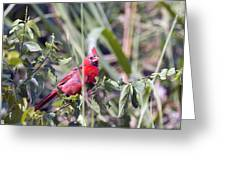 Cardinal In Bush Iv Greeting Card