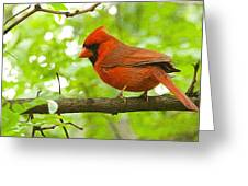Cardinal In Red Greeting Card