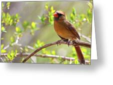 Cardinal In Spring Greeting Card