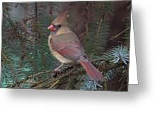 Cardinal In Spruce Greeting Card by John Kunze