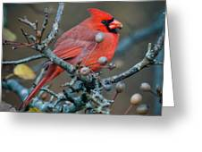 Cardinal In The Berries Greeting Card