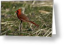 Cardinal In The Field Greeting Card