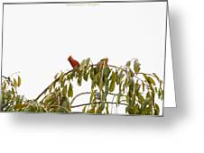 Cardinal On A Branch Greeting Card