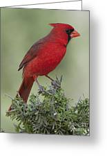 Cardinal On Tree Greeting Card