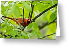 Cardinal Pictures 138 Greeting Card