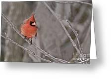 Cardinal Pictures 97 Greeting Card