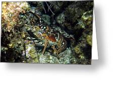 Caribbean Reef Lobster On Night Dive Greeting Card