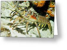 Caribbean Spiny Reef Lobster  Greeting Card