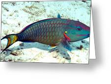 Caribbean Stoplight Parrot Fish In Rainbow Colors Greeting Card
