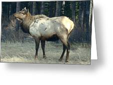 Elk Side Profile - Banff, Alberta Greeting Card