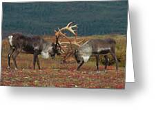 Caribou Males Sparring Greeting Card by Matthias Breiter