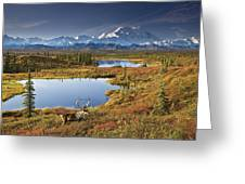 Caribou On Tundra In Denali Greeting Card