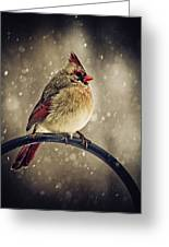 Carolina Cardinal Greeting Card