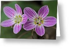 Carolina Spring Beauty Duo Greeting Card