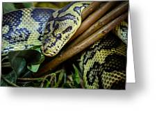 Carpet Python  Greeting Card